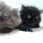 PERSIAN KITTENS , 8 Charming Persian Cats San Diego In Cat Category