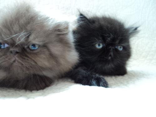 Cat , 8 Charming Persian Cats San Diego : PERSIAN KITTENS