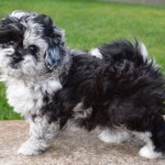 Peekapoo Puppies , 7 Cute Peekapoo Puppies For Sale In Pa In Dog Category