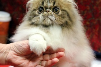 Persian , 5 Nice How To Groom A Persian Cat In Cat Category
