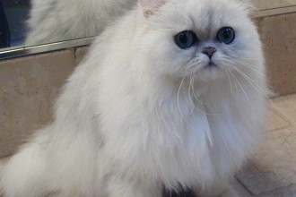 Cat , 9 Charming Chinchilla Persian Cat : Persian Bchinchilla