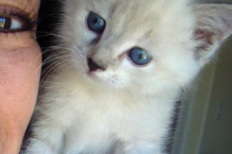 Persian Cat Adoption in
