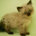 Persian Cat Adoption , 6 Charming Persian Cat Rescue Los Angeles In Cat Category