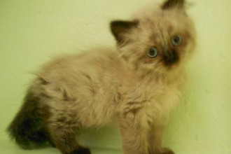 Persian Cat Adoption , 9 Charming Persian Cat Rescue San Diego In Cat Category