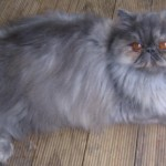 Persian Cat Breed , 9 Nice Persian Cat Eye Care In Cat Category