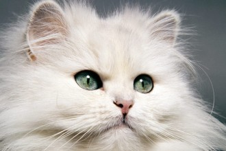 Persian Cat Breed Information , 9 Cute Persian Cat Health Issues In Cat Category