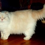 Persian Cat Breeds Pictures , 9 Nice Persian Cat Eye Care In Cat Category