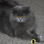 Persian Cat Classifieds , 7 Cool Persian Cat Characteristics In Cat Category