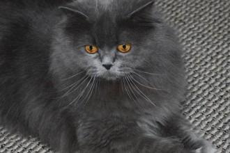 Persian Cat Classifieds , 7 Cool Persian Cat Characteristics In Cat Category