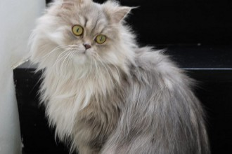Persian Cat Cost in Dog