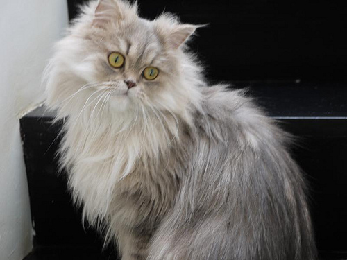 Cat , 9 Cool How Much Do Persian Cats Cost : Persian Cat Cost