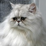 Persian Cat Facts , 9 Cool How Much Do Persian Cats Cost In Cat Category