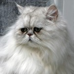 Persian Cat Facts , 8 Charming Persian Cat Facts In Cat Category