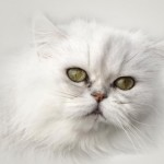 Persian Cat Facts , 7 Charming Facts About Persian Cats In Cat Category
