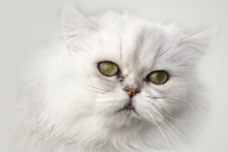 Persian Cat Facts in Butterfly