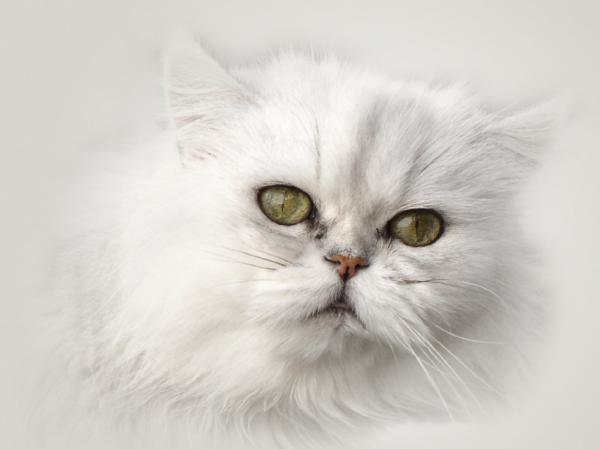 Cat , 7 Charming Facts About Persian Cats : Persian Cat Facts