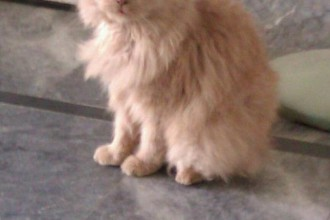 Persian Cat For Sale , 8 Lovely Persian Cat Prices In Cat Category