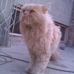 Persian Cat For Sale in Sargodha , 8 Lovely Persian Cat Prices In Cat Category