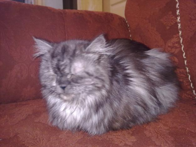 Persian Cat For Sale : Biological Science Picture Directory