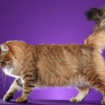 Persian Cat Health , 9 Cute Persian Cats Hypoallergenic In Cat Category