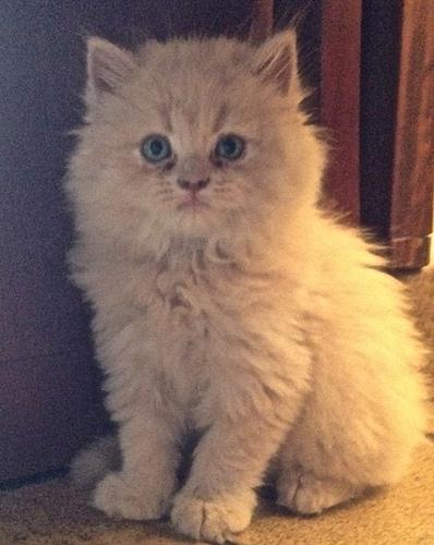 Cat , 8 Good Persian Cat Health Problems : Persian Cat Health Problems