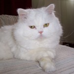 Persian Cat MorgueFile June 29 2013 , 8 Beautiful Persian Names For Cats In Cat Category