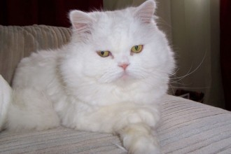 Persian Cat MorgueFile June 29 2013 in Butterfly