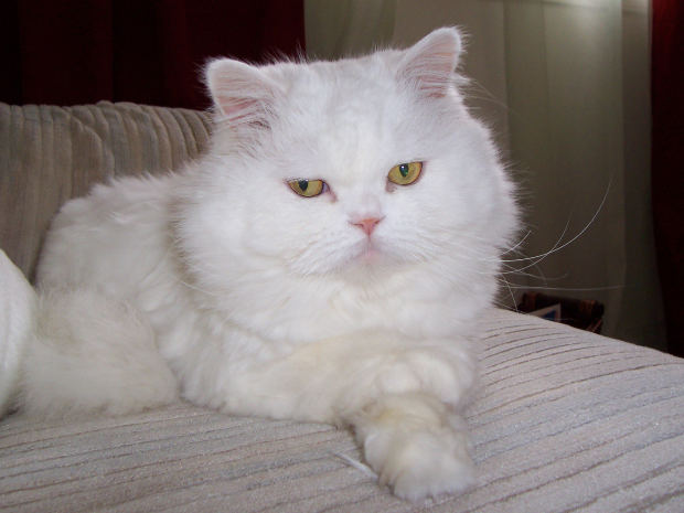 Persian Cat MorgueFile June 29 2013