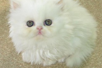 Persian Cat Pictures in Laboratory