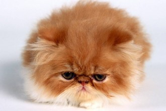 Persian Cat Pictures Gallery , 9 Awesome Types Of Persian Cats In Cat Category