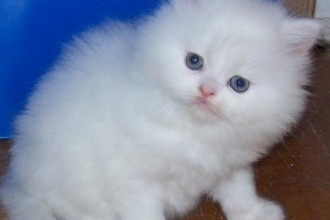 Persian Cat Price in Genetics