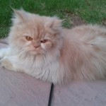 Persian Cat Punch Face , 6 Nice Persians Cats For Sale In Cat Category