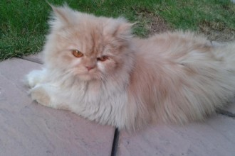 Persian Cat Punch Face in Butterfly