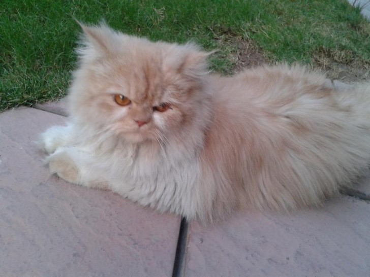 Cat , 6 Nice Persians Cats For Sale : Persian Cat Punch Face