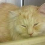 Persian Cat Rescue , 8 Fabulous Persian Cat Rescue Seattle In Cat Category