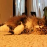 Persian Cat Rescue Orange , 10 Fabulous Persian Cat Rescue California In Cat Category