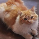 Persian Cat Stud , 5 Good Persian Cat Diet In Cat Category