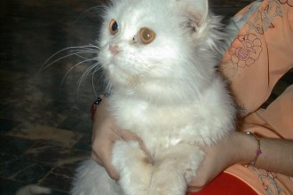 Persian Cat White Price , 7 Charming Persian Cat Price Range In Cat Category