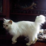 Persian Cat female , 8 Lovely Persian Cat Prices In Cat Category