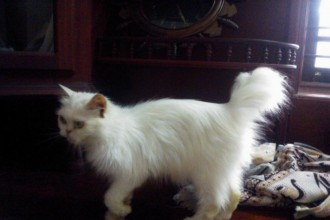 Persian Cat female in Butterfly