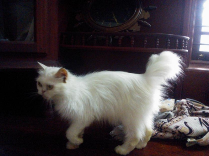 Cat , 8 Lovely Persian Cat Prices : Persian Cat Female