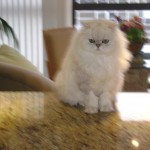 Persian Cat for sale Jette , 9 Fabulous Persian Cats Breeders In Cat Category