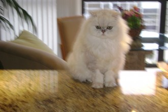 Persian Cat for sale Jette in Scientific data
