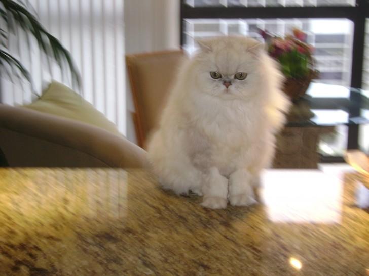 Cat , 9 Fabulous Persian Cats Breeders : Persian Cat For Sale Jette