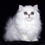 Persian Cat , 8 Unique Doll Faced Persian Cats In Cat Category