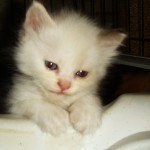 Persian Cat , 6 Nice Persians Cats For Sale In Cat Category