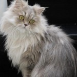 Persian Cat , 8 Lovely Persian Cat Prices In Cat Category