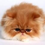 Persian Cat , 7 Charming Persian Cat Price Range In Cat Category