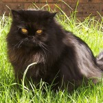 Persian Cat , 8 Beautiful Persian Names For Cats In Cat Category