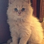 Persian Cat , 9 Cute Persian Cat Health Issues In Cat Category